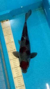410-Elang Koi-sukabumi-faiz bintangkoisbkc-sukabumi- ochiba35 cm