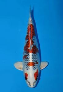 141-Eveline halim-ciamis-tropikal koi centre-bandung-hikarimoyomono-40cm