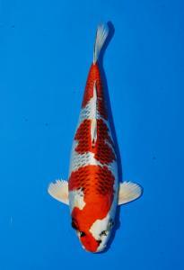 144-Tropikal koi centre-bandung-tropikal koi centre-bandung-hikarimoyomono-33cm
