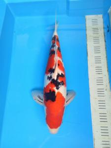 250-Grace n William-bdg-FnF koi-bdg-sanke-53cm